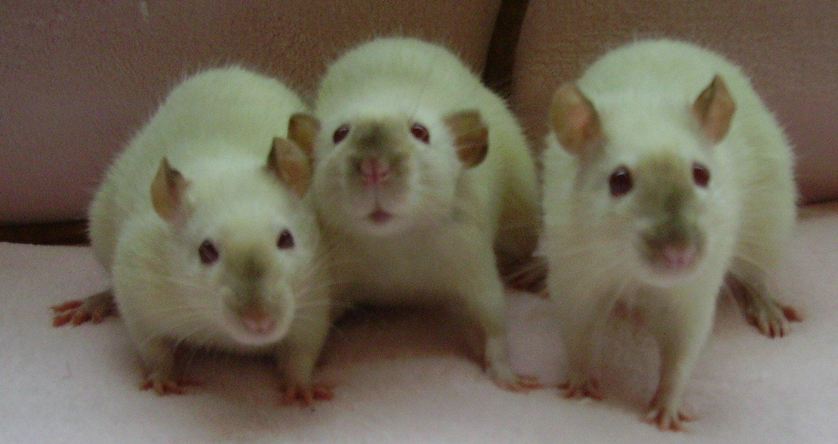 Rat_siamese.jpg
