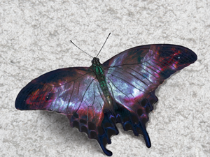 2332smallswallowtail.png