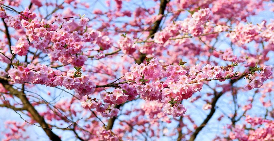 cherry-blossom-1318258_960_720.jpg