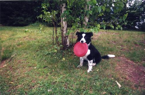 Border_Collie_puppy_with_disc.jpg