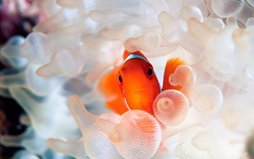 Clownfish-coral-reef-fish-Desktop-Wallpaper.jpg