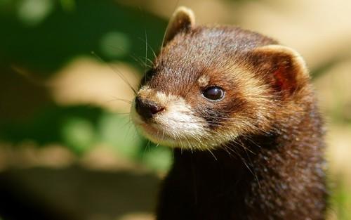 animal-weasel-mink-Favim.com-481918.jpeg
